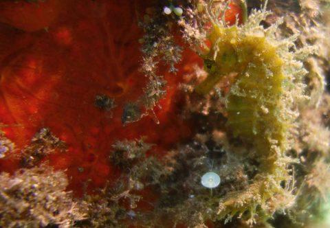 hippocampe port Fréjus plongée